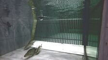 Fish swimming in front of a bar rack in the laboratory flume